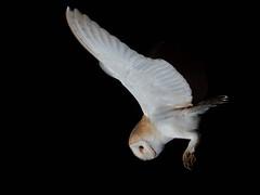 Silent Assassin (KHR Images) Tags: barnowl barn owl tytoalba wild bird inflight flying hunting night dark norfolk wildlife nature birdofprey nikon d500 kevinrobson khrimages