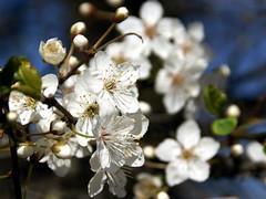 Schlehe / blackthorn (Prunus spinosa) (HEN-Magonza) Tags: botanischergartenmainz mainzbotanicalgardens rheinlandpfalz rhinelandpalatinate flora frühling spring schlehe blackthorn prunusspinosa