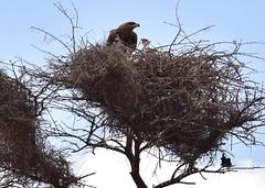 Tawny Eagle nest (orientalizing) Tags: buffalospringsreserve kenya tawnyeagle juvenile trees samburuterritories nests
