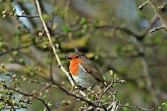 robin J78A0178 (M0JRA) Tags: robins birds humber ponds lakes people trees fields walks farms traylers