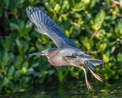 Little Green Heron Inflight (dbadair) Tags: nature wildlife 7dm2 ef100400mm ocean canon florida bird outdoor bif flight birdinflight