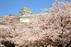 Himeji castle and sakura (Teruhide Tomori) Tags: 日本 姫路 城郭 古城 姫路城 天守閣 伝統 建築 兵庫県 桜 染井吉野 ソメイヨシノ sakura cherry japan japon flower spring castle tradition architecture construction himejicastle himeji hyogo