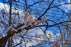 RAW_IMGP4420 (kirinoa) Tags: 横浜市 神奈川県 日本 jp 日ノ出町 黄金町 大岡川 桜