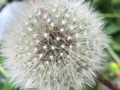 pissenlis-boule© (alexandrarougeron) Tags: photo alexandra rougeron fleur plante nature flickr