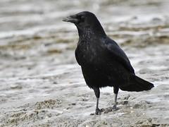 Carrion Crow (LouisaHocking) Tags: burnhamonsea mudflats mud coast coastal southwest wild wildlife nature british britain england bird beach sea seaside carrioncrow crow