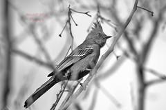 Phainopepla 8 (ahmed_eldaly) Tags: sandiego california usa nature birds birding wildlif photography egyptianphotographer