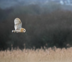 P2110519 (stuart.hall57) Tags: barn barnowl bird flying hunting marshes owl raptor teifi wales