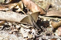 _DR13123 (Chuck Jensen) Tags: skipper butterfly