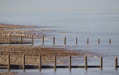 Breakwaters (Gill Stafford) Tags: gillstafford gillys image photograph wales northwales conwy llandulas abergele pensarn coast path welshcoastalpath birds sea groynes breakwaters gulls