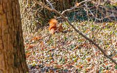 Squirrel; Eichhörnchen (16:10) (Thragor) Tags: hintergrund säugetier tier ccby40 eichhörnchen 1610 16x10 animal background mammal sciurus squirrels