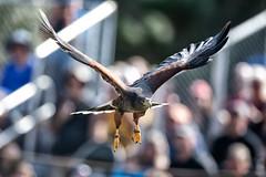 In Flight, RaptorFest 2019 (Eric Seibert) Tags: ericseibert beautifulbird harrisshawk raptor raptorfest stpetersburgflorida boydhillnaturepreserve ilovetheburg inmidair nikond850 nikkor300mmf28