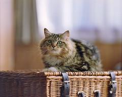 cat (428sr) Tags: pentax67 fujifilm pro400h cat neko ねこ 猫 6×7 120