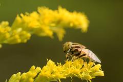 DSC_6714 (Hachimaki123) Tags: 所沢航空記念公園 tokorozawaaviationmemorialpark 日本 japan 所沢市 埼玉県 所沢 tokorozawa saitama animal insect insecto 虫 動物