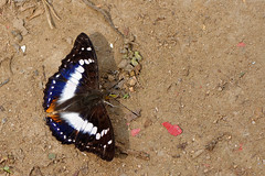 Mimathyma ambica ssp. miranda  - Chiang Dao_20180203_1441_DSC_7862_DxO (I love comments but delete awards - Jan F. Rasmuss) Tags: thailand d800 butterfly butterflies macro closeup insecta lepidoptera rhopalocera nikon janfischerrasmussen janfrasmussen asia southeastasia nymphalidae nymphalid nymphalids apaturinae mimathymaambicasspmiranda mimathymaambica mimathyma ambica miranda chiangmai chiangmaiprovince chiangdao
