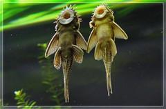 025584 2019 19 Februari Rhenen  Young Mud crawlers C (mensinkr) Tags: fish vis zoo dierentuin modderkruiper mudcrawler vissen young jong dieren animals specanimal
