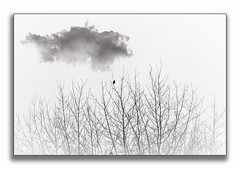 Branches and The Bird (Rohit KC Photography) Tags: branches branch bird cloud clean white black blackwhite blackandwhite bw nature edited canon rohitkcphotography simple less minimalist fineart framed lightroom teamcanon california nepali photo photographer photoshoot outdoors outside