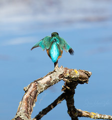 Kingfisher (alcedo atthis) (Steve Moore-Vale) Tags: kingfisher alcedoatthis alcedo atthis perched blue green bird wildlife uk england suffolk animal nature birdlife