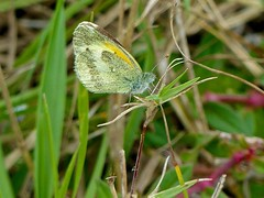 Dainty Sulphur (Nathalis iole) (WRFred) Tags: florida nature wildlife butterfly