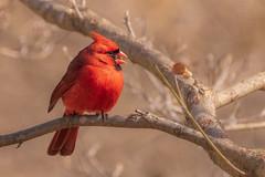 Northern Cardinal (Lynn Tweedie) Tags: wood bokeh beak tail northerncardinal wing canon ngc animal male 7dmarkii missouri bird tree feathers eos sigma150600mmf563dgoshsm eye branch