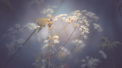 Cow parsley - soft bokeh (Dhina A) Tags: sony a7rii ilce7rm2 a7r2 a7r malik triolam 100mm f29 france anastigmat 29 maliktriolamfranceanastigmat100mmf29 slide projection projector lens french manualfocus