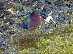 Green Heron (Butorides virescens) (WRFred) Tags: senecaquad bird heron nature wildlife frog cocanal maryland montgomerycounty