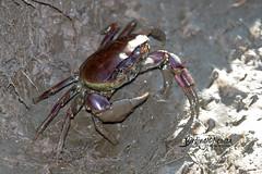 Fresh water crab, Marievale, Gauteng, March 2019 (roelofvdb) Tags: crustacean unkowncrab