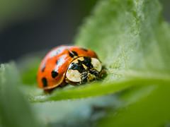 Ladybug (holgerreinert) Tags: 2019 april gx80 mzuiko60mm natur nature wohnanlage