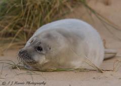 Pup (ian._harris) Tags: d750 sigma 500mm horsey seal bech beach december norfolk nikon sand nature wildlife animals naturephotography natur coast life flickr cute outside naturaleza