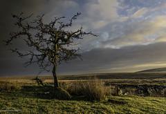 Dartmoor, Whiteworks Tree (Lanstephan) Tags: morninglight daybreak dawn hawthorn dartmoor nikond810 d810