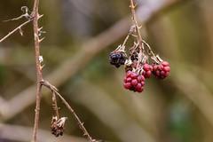 Arne 06-01-2019 01 (Matt_Rayner) Tags: arne berries blackberry