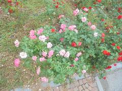 848 (en-ri) Tags: rose roses rosa rosse cespuglio bush sony sonysti aiuola grass erba