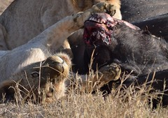 Hugging my Lunch (Everyday Glory!!!) Tags: masaimara africa kenya safari gamedrive mara wildlife wild favorite maasaimara maasai africanbuffalo buffalo capebuffalo