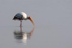 HoskoteBirding_Jan2019_D75_8364 (mgcs) Tags: hoskote birds indianbirds karnataka nikond750 nikkor200500 wild handheld