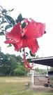 20181223_145022 (Feralysa) Tags: flor flower rosa hibisco natureza