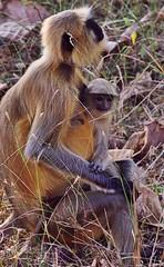 Tenderness - in mother's arms (roshan41182) Tags: roshan41182 penna forest roshan pentax madhyapradesh india monkey motherhood baby secure tender pentaxk70 pair langur