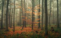 Eifel Glow (Netsrak) Tags: baum eifel europa europe herbst landschaft natur nebel wald autumn fall fog landscape mist nature woods bäume tree trees forest wood