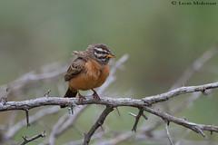 Cinnamon-breasted Bunting (leendert3) Tags: leonmolenaar southafrica krugernationalpark wildlife nature birds cinnamonbreastedbunting ngc natureinfocusgroup npc