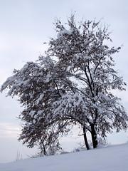 fehér fák / white trees (debreczeniemoke) Tags: tél winter hó snow fehér white erdő forest fa tree olympusem5