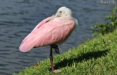Balance is the key to life (Shannon Rose O'Shea) Tags: shannonroseoshea shannonosheawildlifephotography shannonoshea shannon roseatespoonbill spoonbill bird pink redeyes pinklegs grass water lake lakemirror lakeland florida plataleaajaja feathers wings nature wildlife waterfowl balance flickr wwwflickrcomphotosshannonroseoshea smugmug art photo photography photograph wild wildlifephotography wildlifephotographer wildlifephotograph outdoors outdoor outside colorful colourful femalephotographer girlphotographer womanphotographer shootlikeagirl shootwithacamera throughherlens camera canon canoneos80d canon80d canon100400mm14556lisiiusm eos80d eos 80d shadow leaves