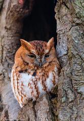 """Nigel"" the eastern screech owl - New Jersey (superpugger) Tags: owl owls easternscreechowl screechowl screech bird birds birding outdoors nature naturephotography newjerseywildlife superbowlsunday urbanwildlife suburbanwildlife backyardbirds lpugliares lawrencepugliares"