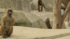 my favorite baboon (nicotr) Tags: 20190126 babouin zoo