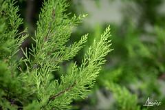Pine branchs (amunoztico) Tags: 2019 camera canoneosr casa creativo events flores macro poraño variadas plants plant plantas planta jardin garden pino pine backgroud