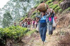 Comme des fourmis (Jacques GUILLE) Tags: nuwaraeliya srilanka thé cueillette tea plantation camelliasinensis ceylan