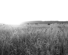 Sunshine over the summer meadow (man_from_siberia) Tags: summer june siberia russia field meadow monochrome blackandwhite blackwhite bnw bw grass sunlight поле луг трава лето июнь россия сибирь солнечныйсвет canon eos 200d dslr canoneos200d canon200d canonrebelsl2 tamron tamronspaf1750mmf28xrdiiild tamron1750mmf28