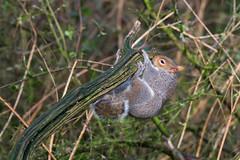 Grey squirrel (Alex Srdic) Tags: uk england hampshire newforest southampton ringwood blashford blashfordlakes woodland woodlandhide hide birdhide bird birds passerine passerines squirrel greysquirrel