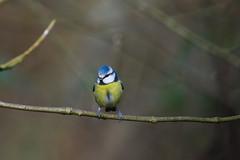 Blue tit (Alex Srdic) Tags: uk england hampshire newforest southampton ringwood blashford blashfordlakes woodland woodlandhide hide birdhide bird birds passerine passerines bluetit