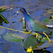 Purple Gallinule walking on lily pads at Shark Valley, Everglades National Park, Florida, Shark River Slough