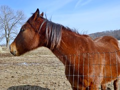Horse in profile (PJD-DigiPic) Tags: pjddigipic horseprofile head chestnut blue sky clouds fence westsuffieldconnecticut