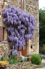 Cascade florale... (NUMERIK33) Tags: france dordogne glycine fleur flower stavit pierre housse maison campagne explore