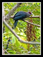 Coco bel oeil (bird) (hcortade) Tags: oiseau birdb queue plume bleu blue rouge red arbre branche tree vert green thailande samui voyage travel coth5 ile island animal nature